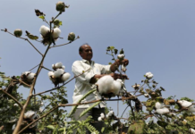 Figure 1: Indian cotton crop may see about 20 percent increases in the new season.