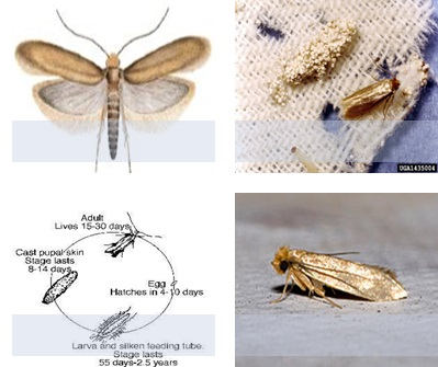 A Review On Woolen Cloth S Moth And Its Remedies