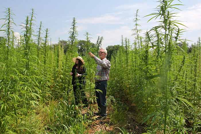 Erica McBride and Geoff Whaling of the Pennsylvania Hemp Industry Council check the growth in a hemp field near Bethlehem