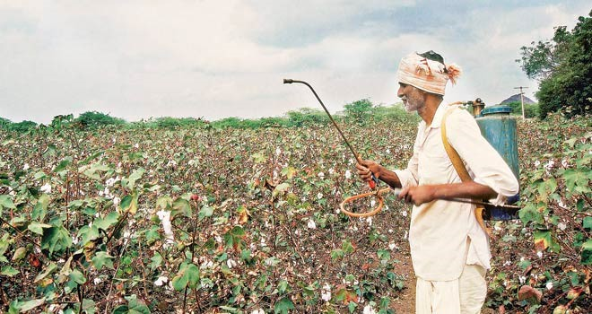 cotton fertilizer contamination