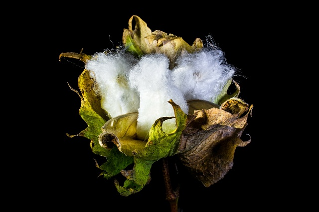 Selection-Sustainable-cotton-cultivation-culture-ginning-contaminatin